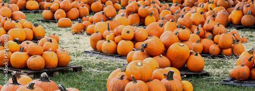 Fotografie, Obraz Pumpkin patch in the fall October