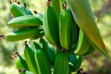 Green Bananas Ripen On A Branc...