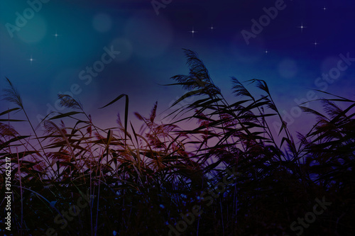 Summer night background - lake reeds with seed panicles Fotobehang