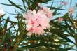Oleander pospolity Nerium oleander w kolorze jasnego różu. Piękny rozkwitnięty kwiat na tle zieleni i niebieskiego nieba.