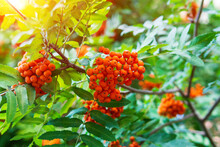 Red Rowan Berries, Mountain Ash Sorbus Tree With Ripe Berry On A Tree Branch