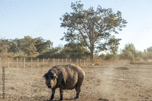 Iberian pig on the farm waiting to be fattened for slaughter in the slaughterhouse and sold as meat Canvas Print