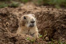 Prairie Dog (Cynomys) In The W...