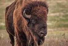 Buffalo, American Bison (Bison...