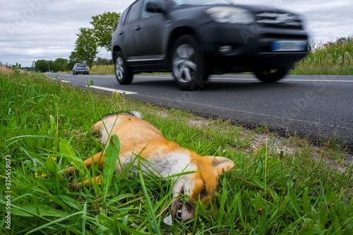 Photo Une renard roux tué après avoir percuter un véhicule sur une route de campagne