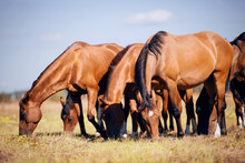 A Herd Of Horses Grazing On Th...