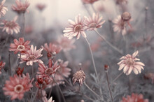 Pale Pink Flowers Slowly Dying On Grey Stems