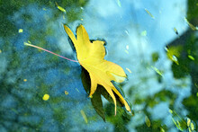 Maple Yellow Leaf Falling Into...