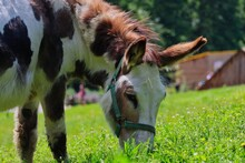Close-up Of Brown-White Donkey...