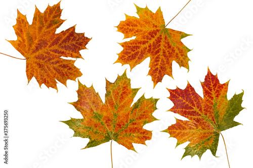jesienne liście klonu - fototapety na wymiar