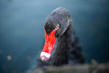 Black Swan With A Red Beak. Close-up.