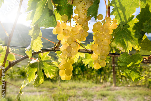 Golden bunches of Muscat grapes in vineyard in Langhe, Piedmont, Italy, Europe Fototapete