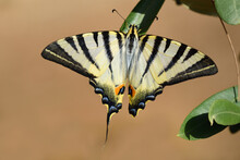 A Tropical Swallowtail Sits On...