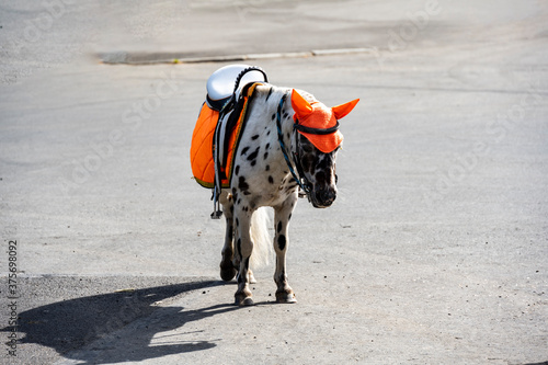 Fotografie, Tablou white and black pony with an orange saddle obediently awaits the rider