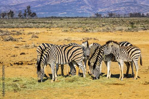 Fototapety, obrazy: A herd of Zebras (Equus zebra zebra) in a meadow. South Africa.