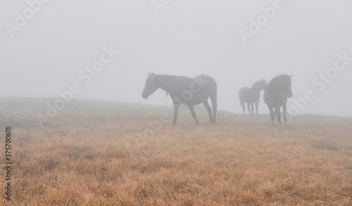 Obraz na plátne Horses in the fog