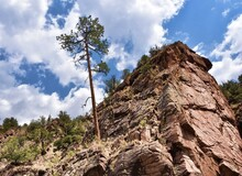 Leaning Ponderosa Pine In The ...