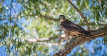 Wild Falcon In Tree New Zealan...