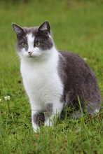 An Adult Beautiful Cat With A Serious Look Of Green Eyes Is Sitting In The Green Grass And Looking Into The Distance On A Summer Day. Portrait Of A Cat In Nature.