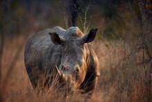 African Rhino Portrait