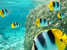 School Of Yellow Tropical Fish...