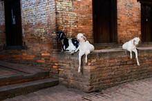 Goat In The Street Of Bhaktapur In Nepal