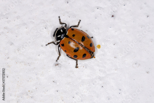 Fototapeta Convergent Lady Beetle of the species Hippodamia convergens