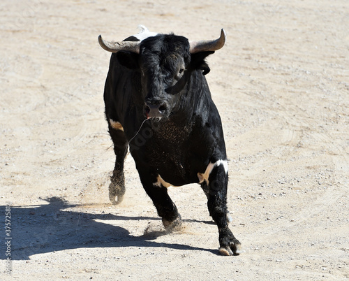 spanish black bull with big horns on the spectacle of bullfight Wallpaper Mural