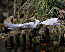 Snowy Egret Stock Photos. Snowy Egret Close-up Profile View Flying Over Water With Foliage And Moss Rocks Background In Its Environment And Surrounding.Picture. Image. Portrait.