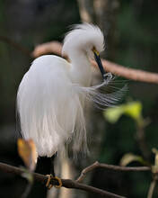 Snowy Egret Stock Photos. Close-up Profile View Perched On A Branch With Blur Background, Cleaning Feathers And Displaying Head, Beak, Eye, Fluffy Plumage, Yellow Feet In Its Environment And Habitat.