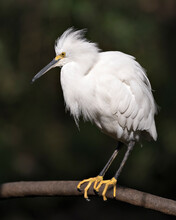 Snowy Egret Close-up Profile View Perched With Blur Background. Side View. Fluffy Feathers. Portrait. Picture. Image. Photo