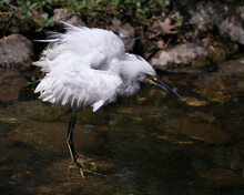 Snowy Egret Stock Photos. Close-up Profile View In The Water With Rock And Moss Background, Displaying White Feathers, Head, Beak, Eye, Fluffy Plumage, Yellow Feet In Its Environment And Habitat.