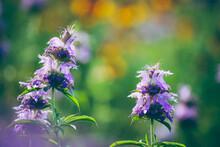 Central Texas Wildflowers, Purple Horsemint