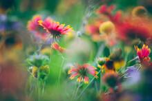 Central Texas Wildflowers, Focus On Firewheel Or Indian Blanket