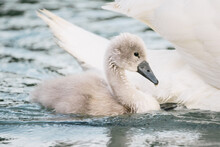 Baby Swan With Swimming With H...