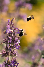 Bumblebees Pollinating Flowers In The Spring