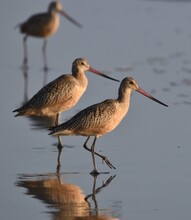 A Group Of Marbled Godwits (Limosa Fedoa) Reflected On The Wet Sand On Manresa Beach In Northern California