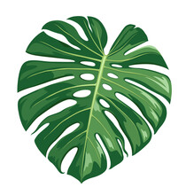 Monstera Deliciosa Leaf Vector...
