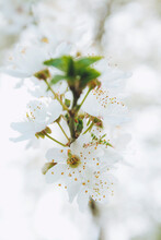 Extreme Close Up Of White Wild Plum Tree Branch With Flowers In Bloom