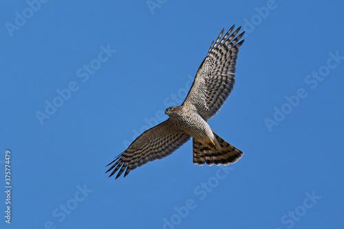 Fotografija Eurasian sparrowhawk (Accipiter nisus)