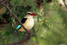 The Brown-hooded Kingfisher (Halcyon Albiventris) Sitting On The Branch With Green Background.