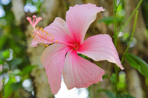 Obraz na plátně pink bunga raya flower Malaysia national flower