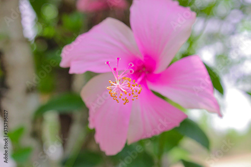 Fotografie, Obraz pink bunga raya flower Malaysia national flower