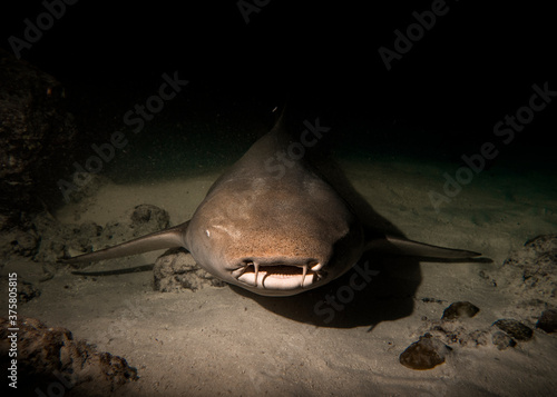 Papel de parede A direct look into the full face of a Nurse Shark resting at night on the sand a
