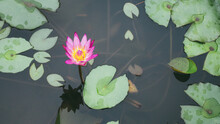 A Lone Lotus Flower Amidst Water Lily Pads In A Small Pond
