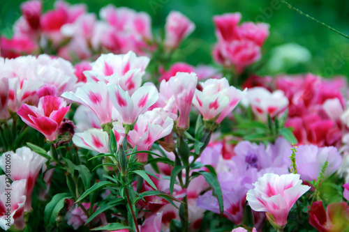Photo Soft focus of pink godetia flowers at a field