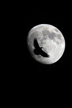 Black Crow In Front Of Almost Full Moon