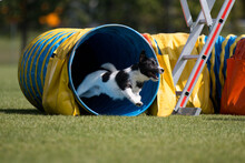 Purebred Active Black And White Jack Russel Terrier Running Dog Agility Course With Full Attention.Fast And Furious Parson Russel Terrier Winner Champion On Outside Agility Competition On Summer Time