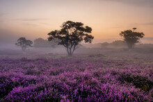 Blooming Heather Field In The ...