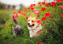 Dog Corgi And Striped Cats Sit In A Sunny Summer Garden In A Bed Of Red Flowers Poppies